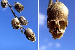 Snap Dragon Seed Pod (Antirrhinum) From 23 Rare Flowers That Look Almost Nothing Like Flowers.: Skull, Seed Pods, Snapdragon, Pod Antirrhinum, Snap Dragon, Seeds, Flowers