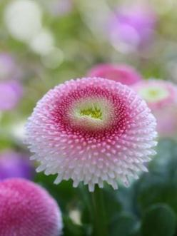 so beautiful: English Daisies, Flowers Plants, Garden Flowers, Beautiful Flowers, Flower Power, Pink