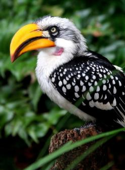 Southern Yellow-billed Hornbill, found in southern Africa. Medium sized bird with long yellow beak.: Cat, Southern Yellow Billed, Yellow Billed Hornbill, Animals, Southern Africa, Beautiful Birds, Photo