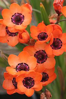 Sparaxis elegans - South African bulb  // Great Gardens & Ideas //: Color, Flowers Plants, South African, Beautiful Flowers, Pretty Flowers, Sparaxis Elegans, African Bulb, Orange Flowers, Garden