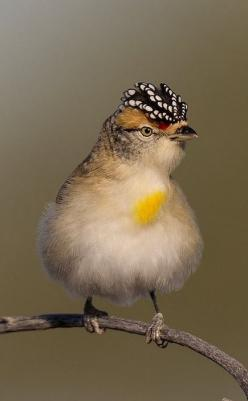 Spotted Pardalote: Poultry, Birdie, Pardalote Pardalotus, Red Browed Pardalote, Spotted Pardalote, Beautiful Birds, Animal
