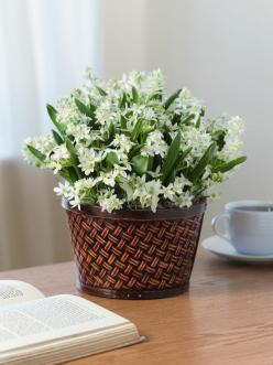 Star of Bethlehem bulbs will bloom just 2 to 3 weeks after arrival. 30 bulbs planted in a festive pot. Details at gardeners.com: Gift Baskets, Gift Ideas, Bethlehem Flower, Bethlehem Bulbs, Blooming Star, Cut Flowers, Stars Piccole Stelle, Christmas Gifts