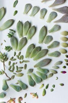 Starting Succulents from Leaves- i love doing this and watching them grow :) you can get so many plants from just one succulent!: Cactus Succulent, Green Thumb, Propagate Succulents, Propagating Succulents, Outdoor, Growing Succulent