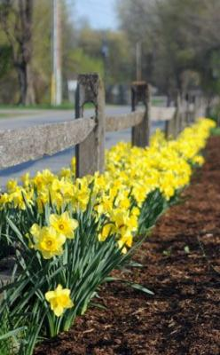 Success with spring bulbs.  Love them planted en masse, running along the fence.: Fence, Bulb Plantings, Spring Bulbs, Outdoor, Flower Bulbs, Bulb Flowers, Success