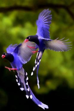 Taiwan blue magpies: Animals, Nature, Creature, Color, Blue Magpies, Taiwan Blue, Beautiful Birds, Photo