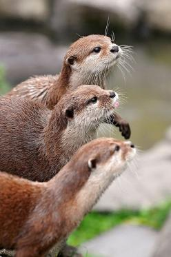 Tambako The Jaguar on Flickr Three in a row  Three very cute dwarf otters waiting to be fed with little pieces of meat.: Animals, Critters, Dwarf Otter, Otter Trio, Creatures, Favorite Animal, Adorable, Small