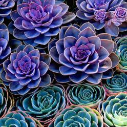 teal and purple succulents: Colour, Idea, Nature, Purple Succulents, Colors, Beautiful, Plants, Flowers, Garden