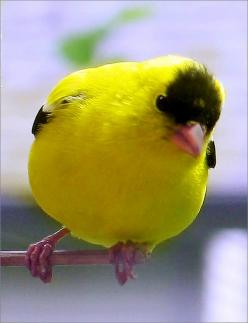 The American Goldfinch (Carduelis Tristis), also known as the Eastern Goldfinch and the Wild Canary, is a small North American bird in the Finch family.: North American, Wild Canary, Backyard Birds, Beautiful Birds, Animal