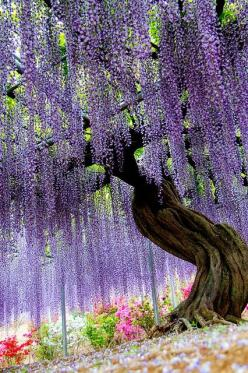 The Ashikaga Flower Park in Tochigi Japan. is such a serene, beautiful place. Wouldn't you just LOVE to hold your wedding here? :): Ashikaga Flower, Tochigi Japan, Wisteria, Trees, Place, Garden