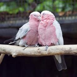 The birds chirping so excitedly is their way of rejoicing in the new day. Beautiful birds :): Things Pink, Animals, Nature, Color, Pink Birds, Beautiful Birds, Pretty