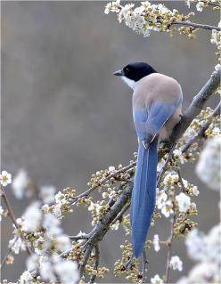 The blue magpie is a bird species that is native to the Iberian Peninsula and in East Asia.: Animals, Nature, Beauty, Beautiful Birds, Photo