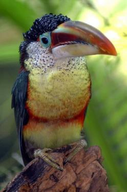 The Curl-crested Aracari (Pteroglossus beauharnaesii) is a South American toucan. Photo by ucumari: Animals, Curls, Toucan, Beautiful Birds, Photo
