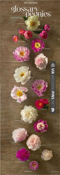 The definitive guide to peonies | I want them all: Beautiful Flower, Favorite Flowers, Peony Glossary, Bloom, Peonies, Floral