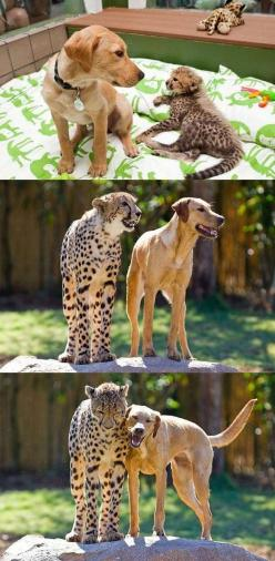 The dog who got older but who - what I am trying to say is that the important point of this story is that HE IS BEST FRIENDS WITH A CHEETAH. | The 50 Cutest Things That Ever Happened: Animal Friendship, Cheetah, Animals, Best Friends, Bff, Dog, Adorable A
