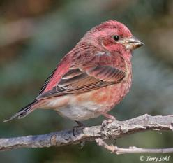 The feeders wouldn't be the same without these little guys - Purple Finch stopping by.: Art, Birdy Birdy, Animals Birds Finches, Backyard Birds, Pretty Birds, Beautiful Birds, Feathers, Purple Finch