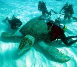 The Giant Sea Turtle, also called a Leatherback, is the largest of all living turtles. It can easily be differentiated from other modern sea turtles by its lack of a bony shell: Pet Turtle, Giant Sea, Living Turtles, Big Turtle, Sea Turtles, Leatherback T