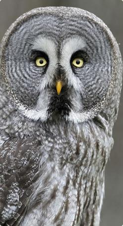 The Great Grey Owl does not have ear tufts and has the largest facial disc of any raptor.: Gray Owl, Hoot Hoot, Grey Owl, Beautiful Birds, Owls, Animal