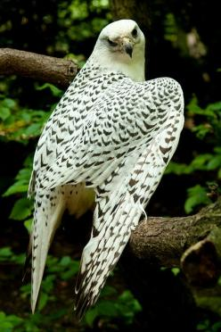 The Gyrfalcon, also spelled gerfalcon—Falco rusticolus—is the largest of the falcon species. The Gyrfalcon breeds on Arctic coasts and the islands of North America, Europe, and Asia. by kANJAheiterwerden: Falcon Species, Falcons, Raptor, Beautiful Birds,