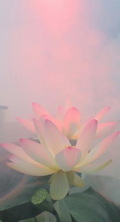 The light shines through the cloudiest of days, wrapping me in its warmth and security. I open, like a flower, growing, stretching, reaching, reveling in its embrace.: Water Lily Garden, Inspiration, Life, Beautiful Colors, Lotus Colors, Waterlilies, Thin