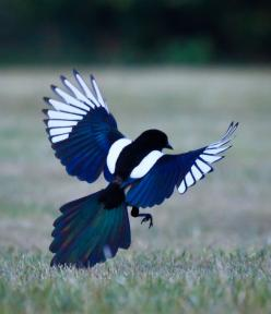 "The magpie. ""Strong, silent wisdom. It invites us to sing and create with all the beauty in one's heart, and then to fight like hell for what's rightfully ours, for what's there for the taking, for what is within reach"" Communication &"