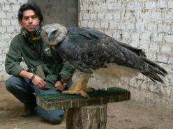 The most beautiful hawk I have ever seen. Been told this is a harpy eagle, a sea eagle hawk etc. None of which I find to be true? Either way, I LOVE IT!!: Animals, Nature, Worlds Largest, Largest Eagle, Prey, Beautiful Birds, Eagles
