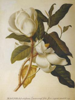 The Most Beautiful Plant Imagery: Botanical Illustration, Magnolias, Magnolia Altissima, Art, Allposters Com, Magnolia Ii