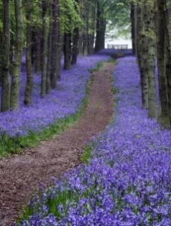 The native English bluebell flowers in spring time only and covers woodlands with a haze of purpley blue. There is something ethereal and luminescent...: English Garden, Spring Bluebell, Beautiful Bluebell, English Bluebell, Covers Woodlands, Purpley Blue