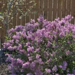 "The new ""Bloomerang"" lilac. It's only a small bush rather than the gigantic size of the typical lilac. AND it blooms first in the spring, and then reblooms again in the summer and stays until frost! Fragrant and low maintenance.  Good for cutt"