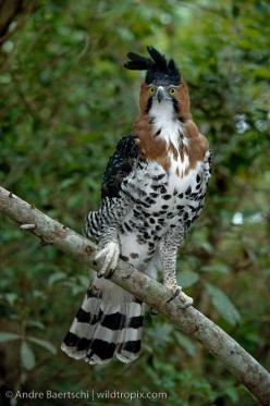The Ornate Hawk-Eagle is a bird of prey from the tropical Americas.  This species is notable for its vivid colors, which differ markedly between adult and immature birds. (photo by andre baertschi): Birds Of Prey, Andre Baertschi, Tropical Americas, Beaut