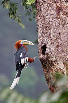 The rufous-necked hornbill is a species of hornbill in the northeastern Indian Subcontinent and Southeast Asia. Numbers have declined significantly due to habitat loss and hunting, and it has been entirely extirpated from Nepal.: Animals, 10 000 Adults, A