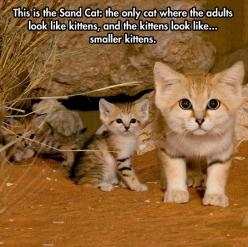 The Sand Cat - funny pictures #funnypictures: Sands, Animals, Creature, Pet, Smaller Kittens, Adult, Sandcats, Kitty