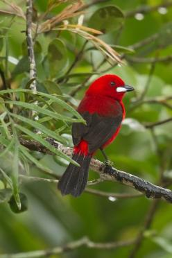 The Scarlet Tanager, Piranga Olivacea, is a medium-sized North & South American songbird. Formerly placed in the tanager family (Thraupidae), it and other members of its genus are now classified in the Cardinal family, Cardinalidae.: True Blood, Birdi