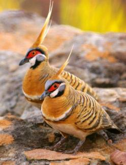 The Spinifex Pigeon is a bird found in Australia. There are only two Australian pigeon species that possess an erect crest: the Spinifex Pigeon and the Crested Pigeon. The Spinifex Pigeon is smaller. Generally they live in stony areas with low woodlands a