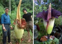 The titan arum or amorphophallus titanum (basically, titanic penis) is not the world's biggest flower, but it does have the world's biggest inflorescence. Like the rafflesia, it also grows in Sumatra and also is called the corpse flower after its notoriou