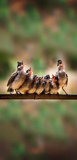 ♥ * * THE UNIDENTIFIED TABERNACLE CHOIR HAD A GLITCH. ONE OF THE MEMBERS SAT SULKING, REFUSING TO TWEET CUZ HE WANTED DE 'REAL THING.': Choirs, Tuan Tran, Animals, Creatures, Bird Choir, Beautiful Birds, Photo