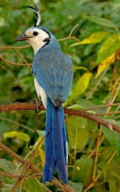The White-throated Magpie-Jay is an unmistakable and quite approachable bird that occurs from Mexico to Costa Rica. Photographed at Playa Grande on Guanacaste Peninsula in Costa Rica by Frank Thierfelder: Birds Jays, Magpie Jay Calocitta, White Throated M