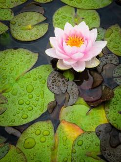"""theopenlotus: """" """"You cannot grow lotus flowers on marble. You have to grow them on the mud. Without mud, you cannot have a lotus flower. Without suffering, you have no ways in order to learn how to be...: Flowers Garden Pots, Flowers Nature, Lotus, Pl"""