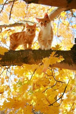 These two cats are exactly how I envision Tice and Roadie from the story Cats In Trees to look. They are looking down at the family pinning shirts and sheets to a clothesline.: Cats, Orange Cat, Animals, Kitty Cat, Autumn Kitties, Fall, Autumn Cat, Kitten