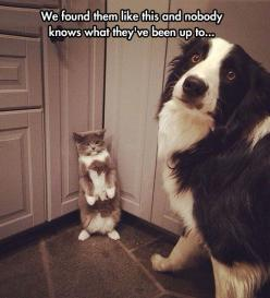 They Both Look Very Innocent To Me  // funny pictures - funny photos - funny images - funny pics - funny quotes - #lol #humor #funnypictures: Cats, Guilty Dog, Funny Animals, Border Collies, Cat Face, Dogs, Funny Picture, Funny Pet
