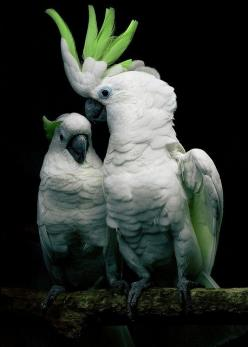 think these might be sulfur crested cockatoos that got some green added to them via software magic??? still a super cool photo.: Animals, Parrots, Sulfur Crested, Greater Sulfur, Beautiful Birds, Photo