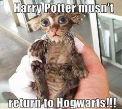 This is adorable! I want a Dobby!: Cats, Dobby, Animals, Harrypotter, Funny, Harry Potter, Funnie