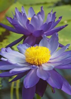 This is an Australian native waterlily: Flowers Fascinating Beautiful, Waterlily Plant, Flores Flowers, Australian Native Flowers, Beautiful Flowers, Australian Plants, Flowers Plant Gardens, Australian Native Plants