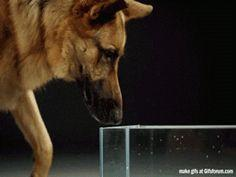 This is how dogs drink water: | 23 GIFs That Will Teach You A Damn Thing For Once In Your Life