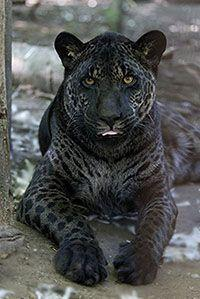 This is Jazhara. Jazhara is a jaglion. The jaglions have a jaguar father and a lion mother.: Wild Cat, Animals, Big Cats, Bigcats, Jaguar Father