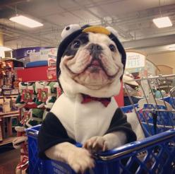 This is Manny. He's a French bulldog that grocery shops in a penguin suit.: Handsome Fellow, Animals, French Bulldogs, Costume, Penguins, Puppy, Frenchie