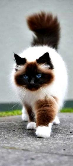 "This looks like my Balinese Siamese Bosley from many years ago.  Except he didn't have white paws, which is a ""fault"" in well bred Siamese'.: Ragdoll Cat, Beautiful Cat, Kitty Cats, Pretty Cat, Himalayan Cat, Siamese Cat, Feline, Animal"