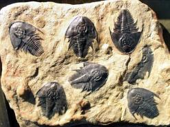 Trilobites come in so many varieties and sizes!  From the size of your finger nail to monsters that where 3 feet long!: Fossils Love, Ammonite Fossils, Fossils Minerals Archaeology, Bones Fossils, Dinosaurs Fossils, Fossils Petroglyphs, Fossils History, F