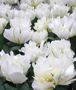 Tulip, Exotic Emperor  ~~ White in the garden or table arrangement makes a statement ~~: Flowers Gardens, Beautiful Flower, Exotic Emperor Love, Emperor White Tulips, Emperor Tulips, White Garden, Tulip Exotic Emperor, Exotic Emperor Must