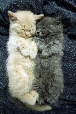 Two fluffy kitties having a snoozie time snuggle - Imgur: Cats, Animals, Kitty Cat, Sweet, So Cute, Pets, Adorable, Kittens, Baby