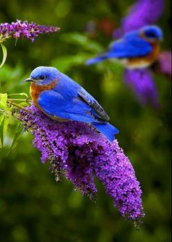 Two of the most beautiful colors in the world...   Emilialua: Bluebirds, Animals, Nature, Color, Beautiful Birds